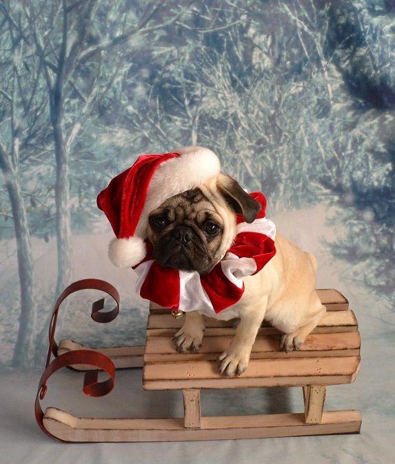 Christmas Santa Pug Puppy Pug Puppy Christmas Holiday Santa