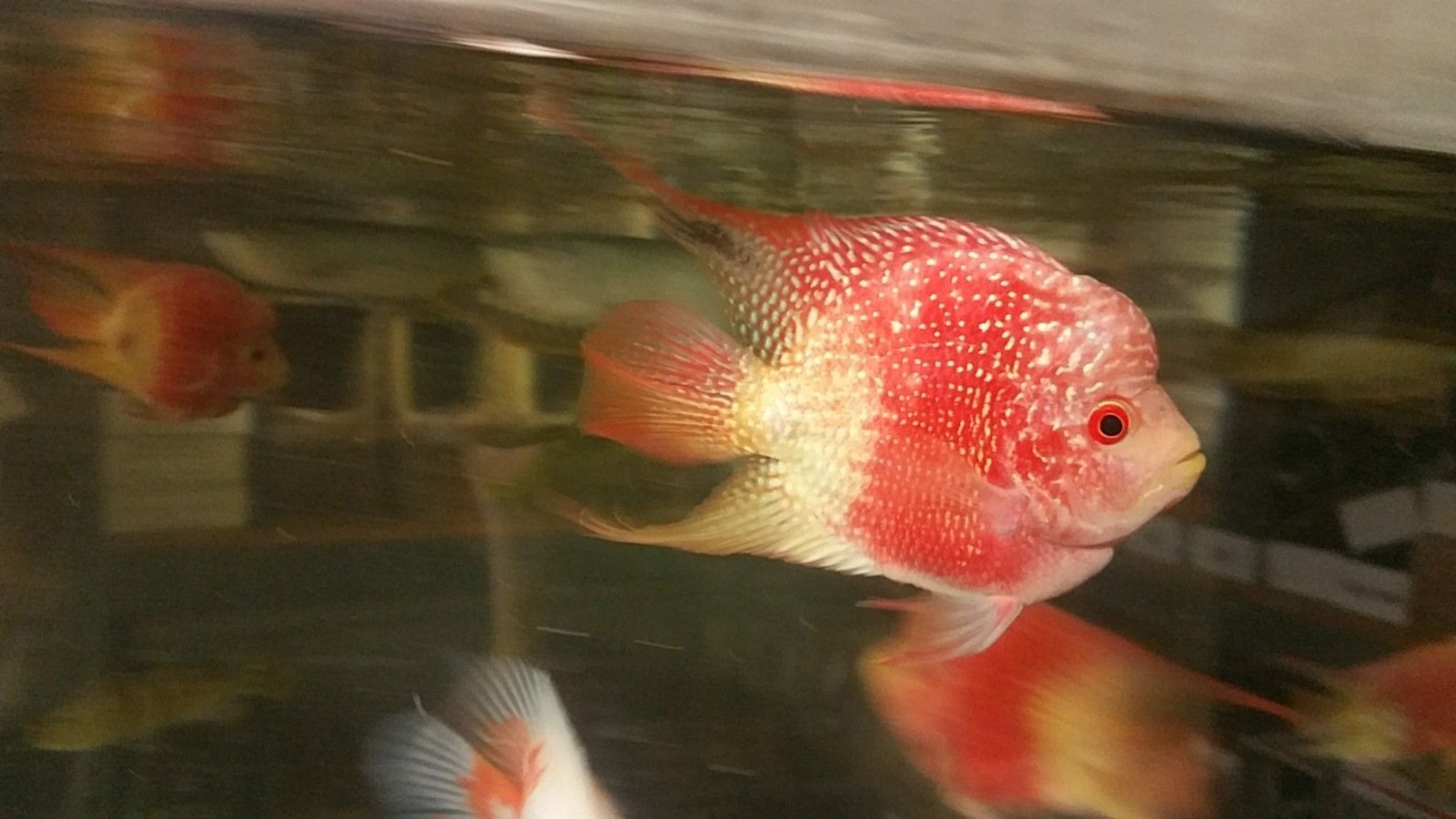 Golden Red Pearl Parrot Fish Juvenile Parrot Fish Fish Cichlid Fish