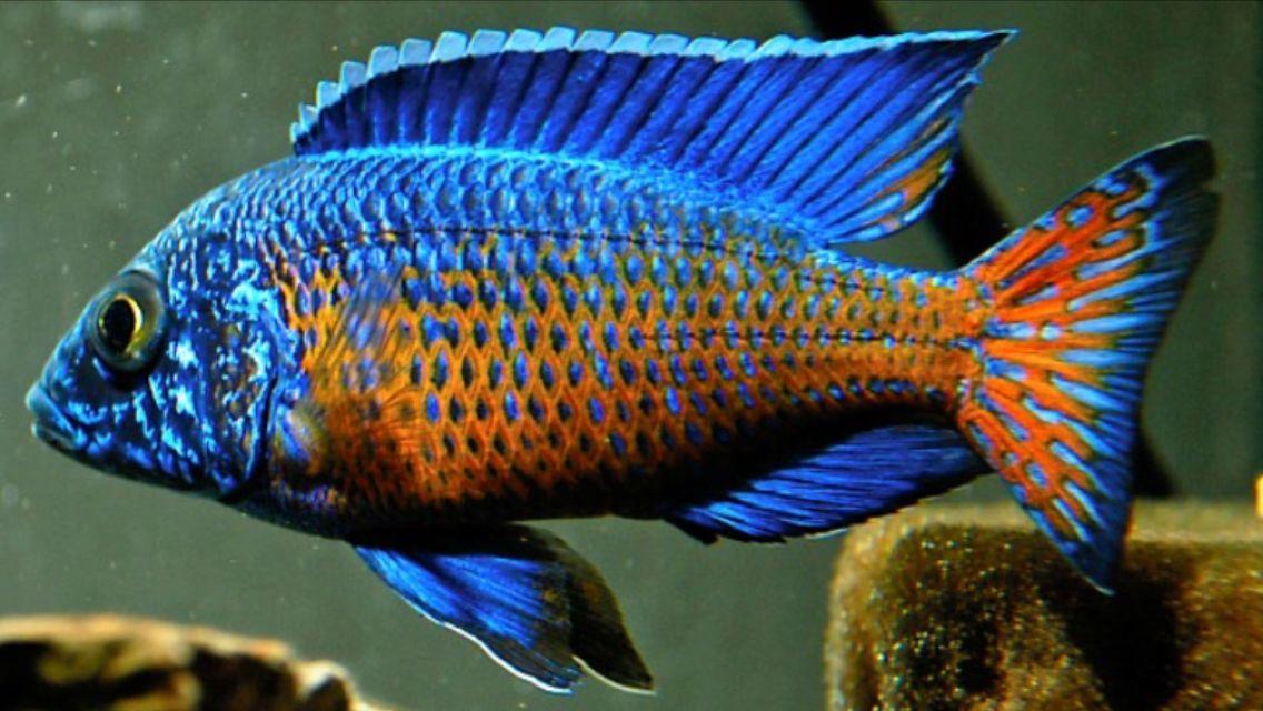 Aulonocara Flametail African Cichlid Aquarium Cichlid Aquarium African Cichlids