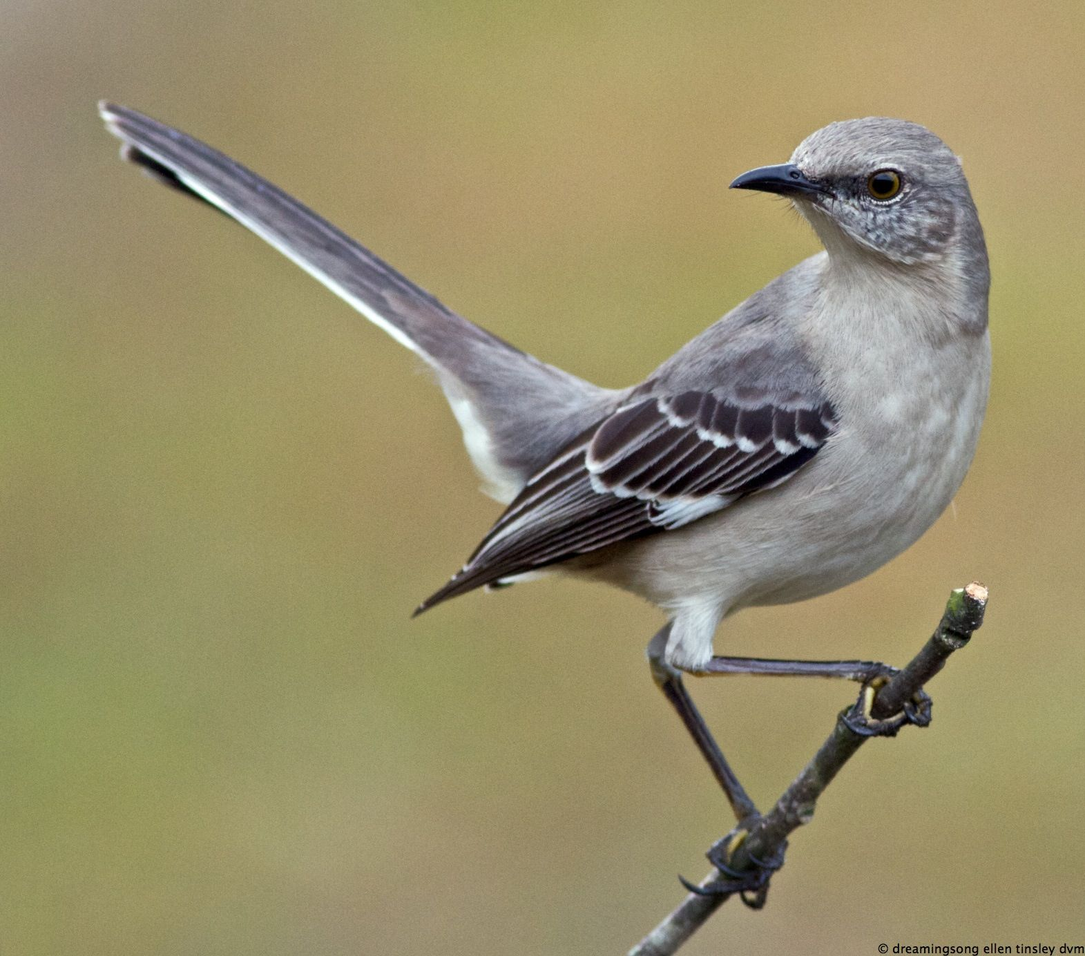 best images about birds northern mockingbird 17 best images about birds northern mockingbird bobs to kill a mockingbird and birds