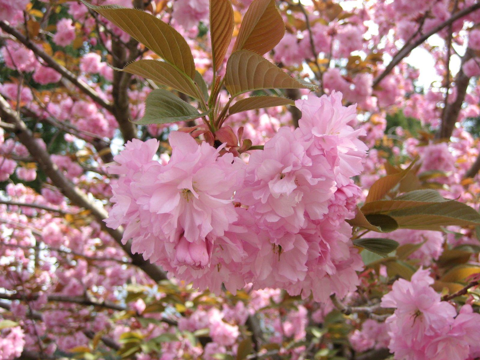 My Wagashi Chronicles Salt Preserved Cherry Leaves Cherry Leaf Wagashi Edible Flowers