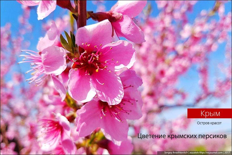 Цветение крымских персиков « FotoRelax