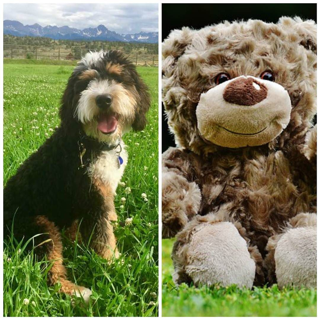A Teddy Bear Bernedoodle Is A Bernedoodle Whose Parents Are
