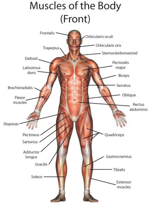 human anatomy pictures | muscle compose | Pinterest