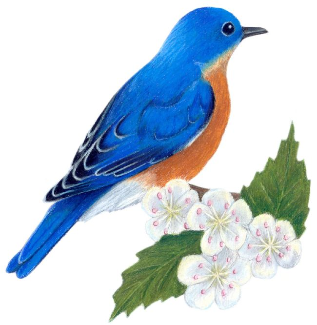 Missouri State Bird And Flower Bluebird Sialia Sialis Hawthorn