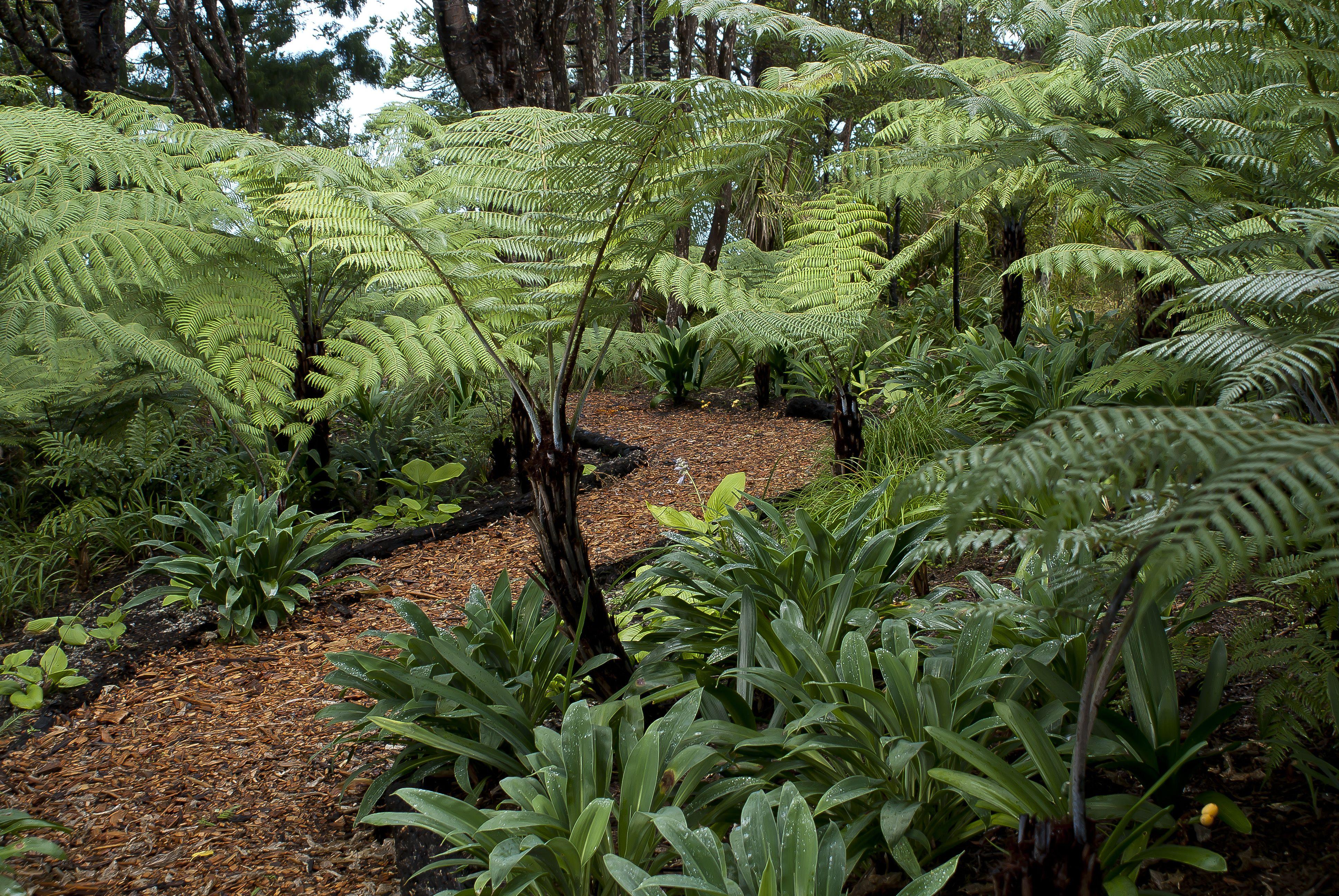Bark path through the native tree ferns and kauri at Omaio