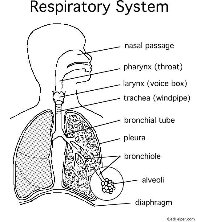 Label The Respiratory System Answers Best Of Name In 2020