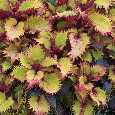 Coleus Henna New Plants To Consider Pinterest Plant Sale And