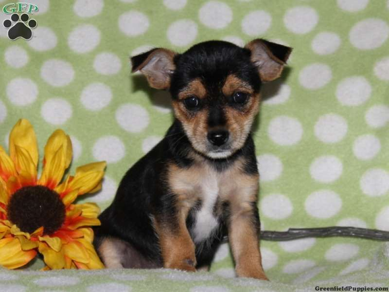 Chester Chorkie Puppy For Sale In Quarryville Pa Puppies