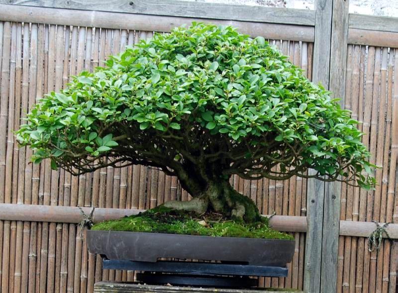 ligustrum bonsai - Szukaj w Google