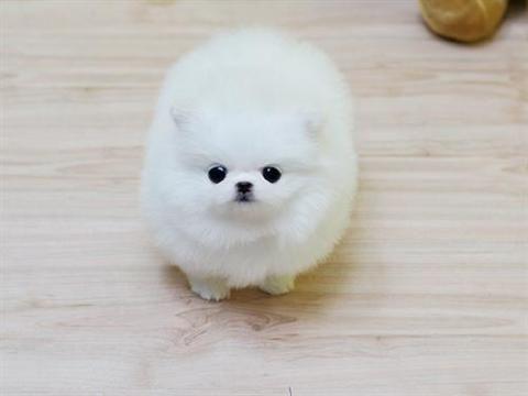 Miniature Pomeranian Pup Pomeranian Puppy For Sale Pomeranian