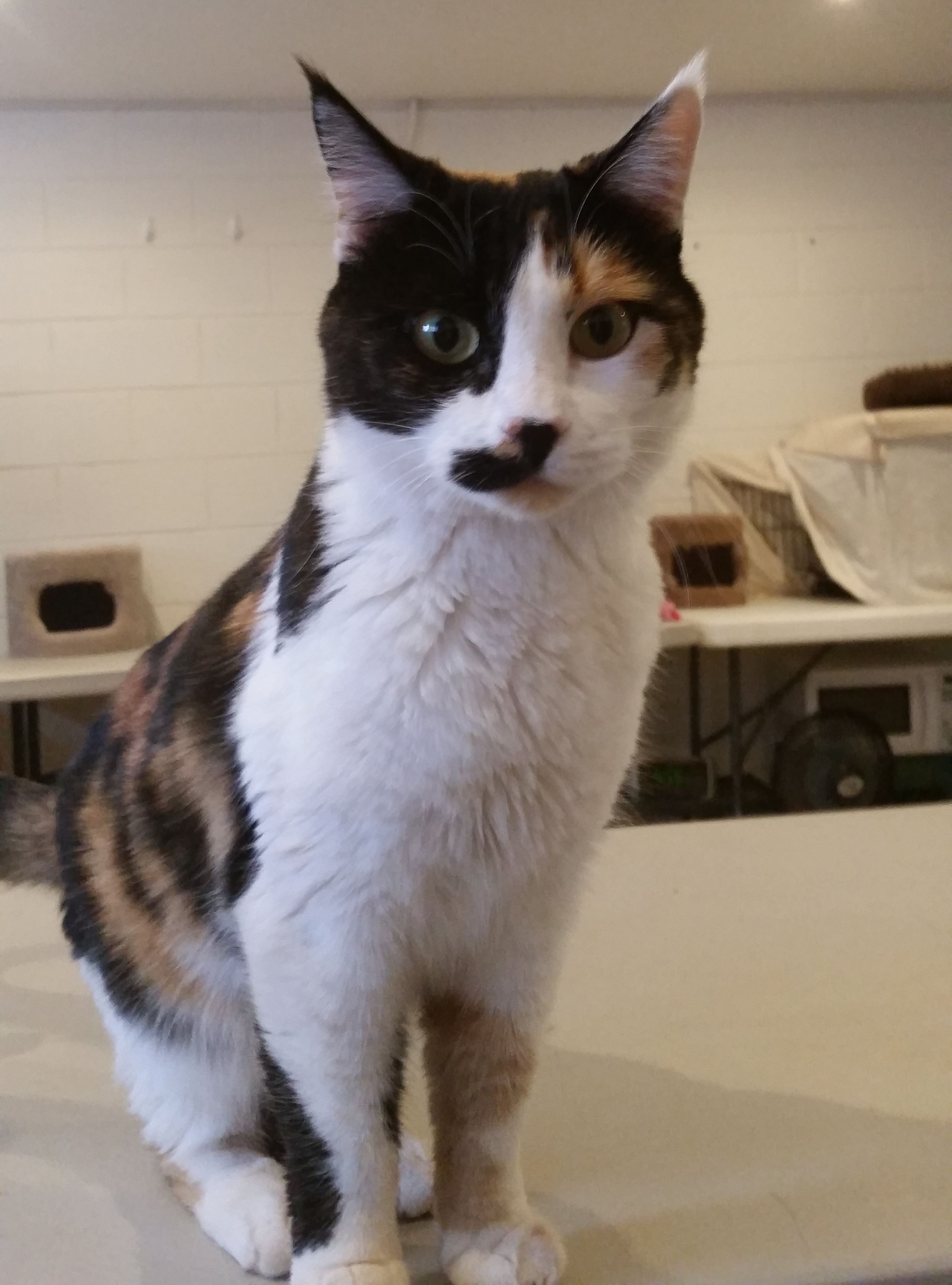 Roxie is a 3yearold calico female cat. She is mellow and