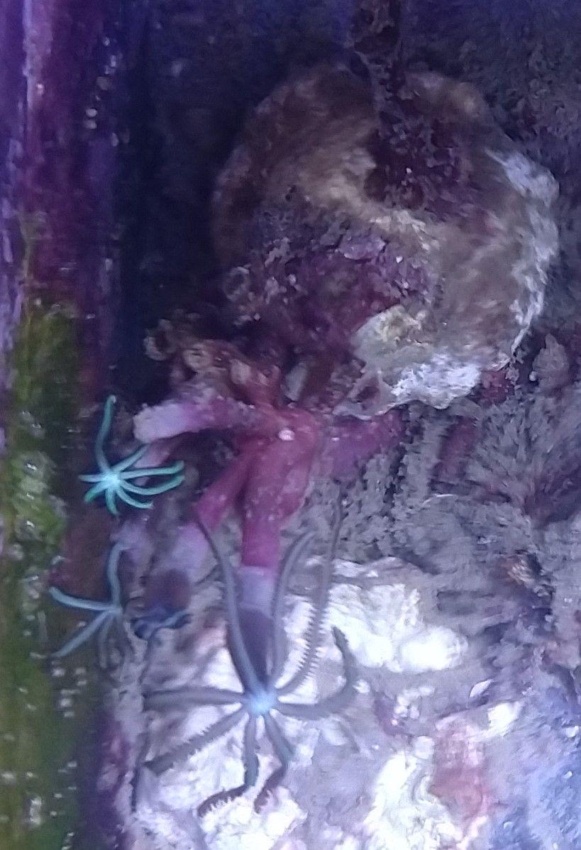 Tubipora Musica Orgelkoralle Ca 10 Polypen Steinkorallen Weichkorallen Korallen Kaufen