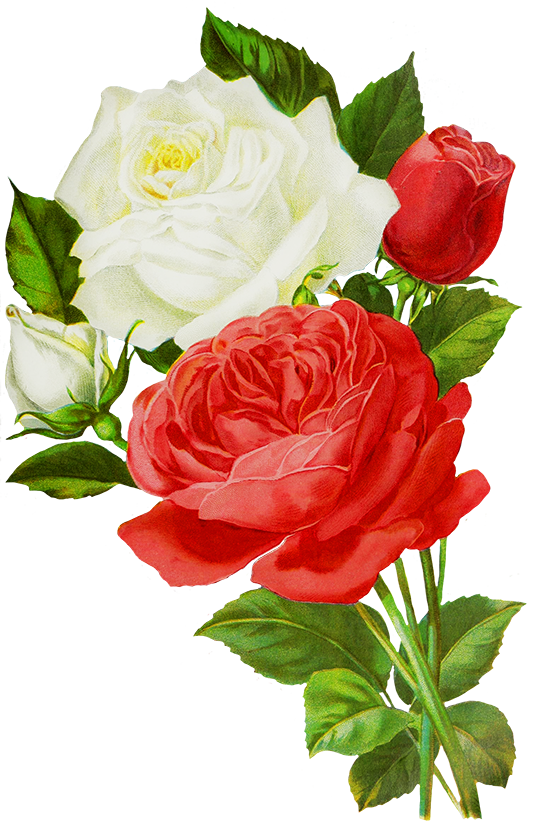 Red And White Roses Drawings Decoupage Flowers Roses Etc 3