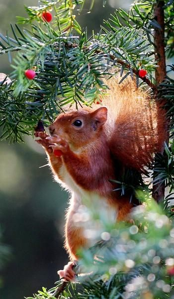 5 A Red Squirrel Eats Berries From A English Yew Taxus Baccata