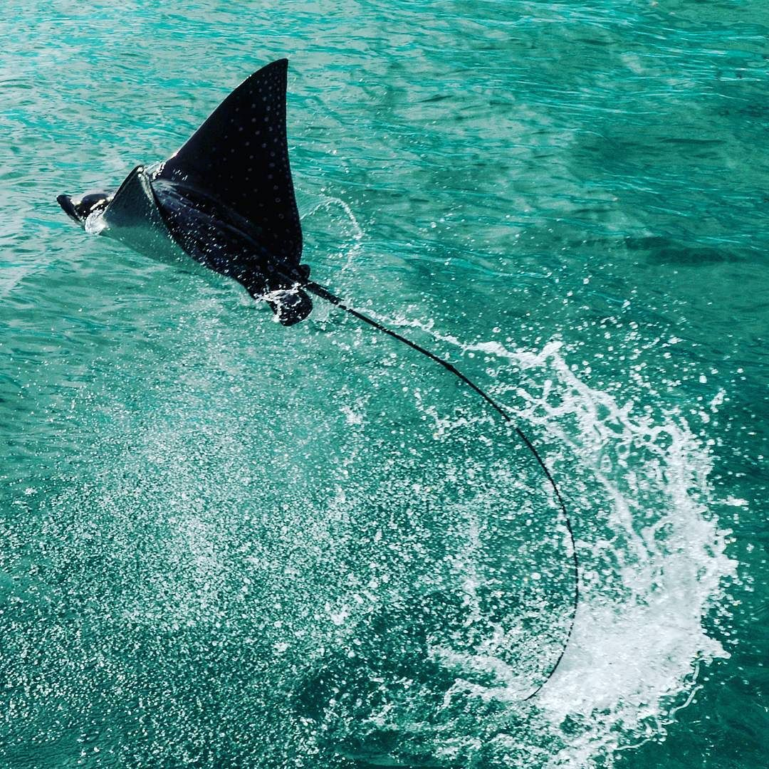 Spotted Eagle Ray in the #heronisland harbor. Occasionally Eagle Rays can be seen jumping out of the #water. The reason they do this remains a mystery. #scientists speculate that leaping #rays may be females trying to avoid unwanted male attention or they may do it to shake off parasites or remoras. They may also perform these noisy belly-flops just for #fun. There are always plenty of Eagle Rays to be seen at #heronislandresearchstation. You have to be patient to capture a #picture like…