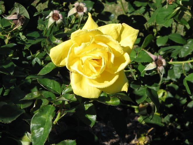 Rosa Meitalbaz Anthony Meilland Floribunda Rose Rose Care Rose Flowers