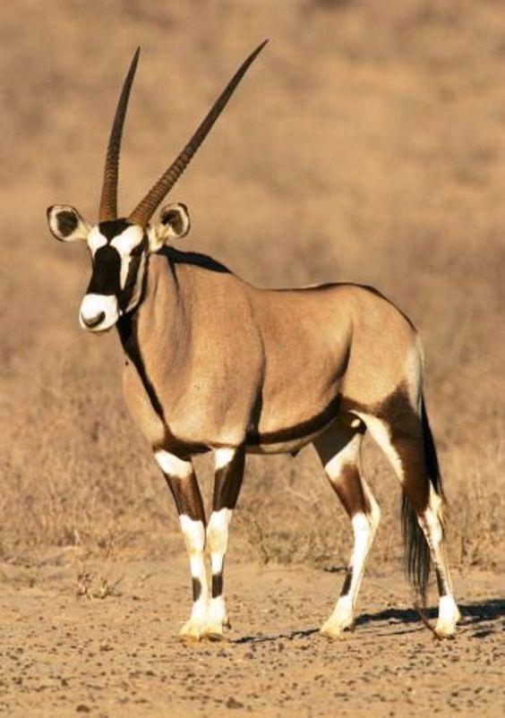 Gemsbok African animals Animals Animals beautiful
