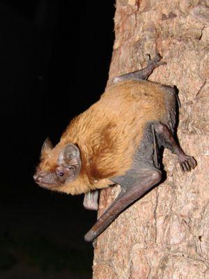 Abendsegler Mammals Animals Bat Species