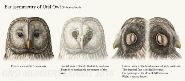 Ear Asymmetry of Ural Owl, UTAKO©2014 Utako Kikutani ...