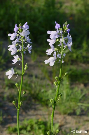 Texas Toadflax · Butterfly Garden PlantsCabbage ...