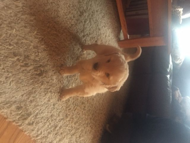 Litter Of 8 Golden Retriever Puppies For Sale In Richland Mo Adn