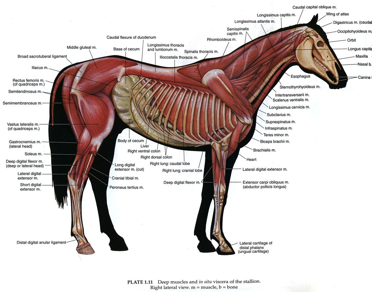 Equine Muscles...and you say they aren\'t athletic that they are just ...