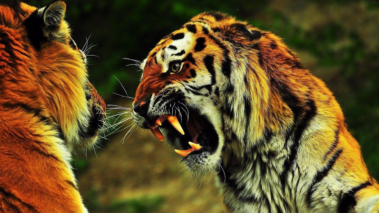 Wild Discovery Channel Animals Tiger Huting Predator