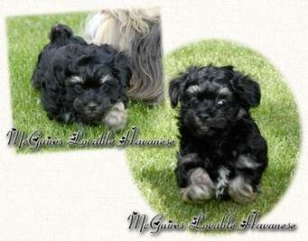 Havanese Puppies for Sale Cheap - Norton Safe Search