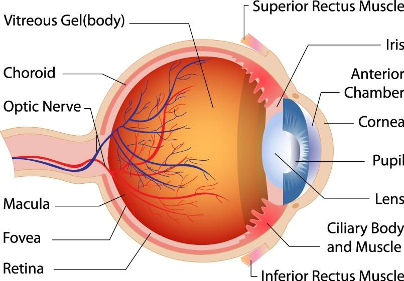 can you name the parts of the eye? do you know how each part helps, Cephalic Vein