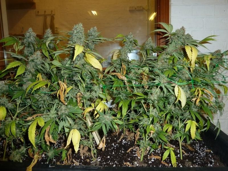Weed Plants Budding Too Early These buds are ready f...