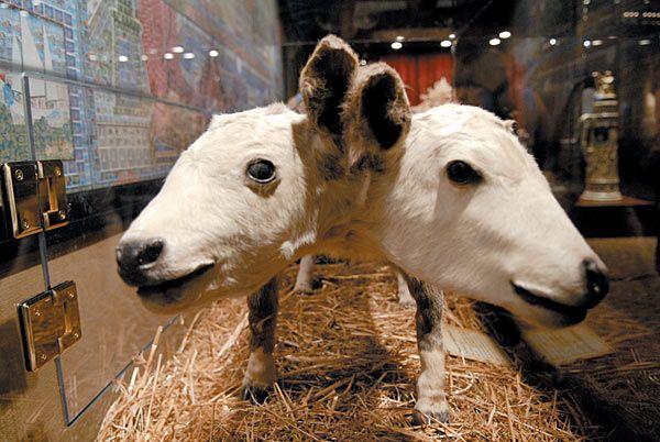 Výsledek obrázku pro ripley's believe it or not two headed animals