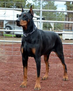 Doberman With Images Doberman Puppies For Sale Doberman Puppy
