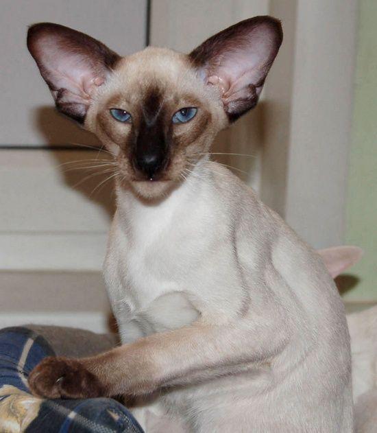 Modern Oriental Siamese Oriental Shorthair Cats Siamese Cats