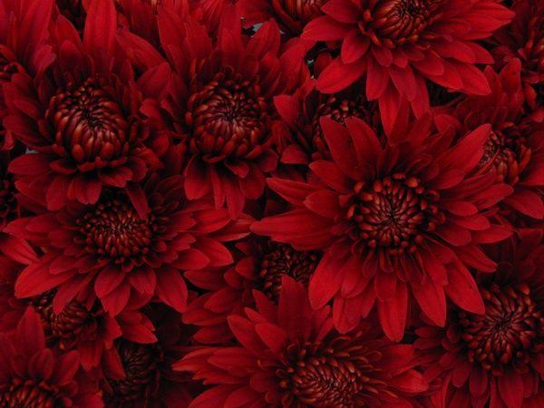 Chrysanthemum Cushion Red Rock