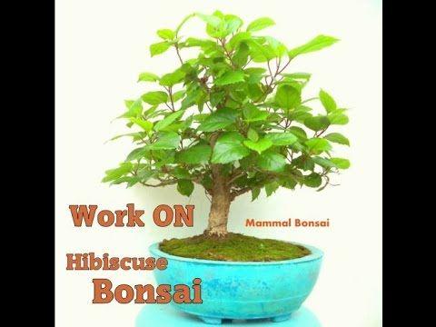 How To Bonsai Work On Hibiscus Bonsai Bonsai Care Bonsai Bonsai Garden