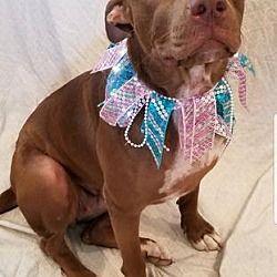 Eugene, OR - American Pit Bull Terrier. Meet Cami