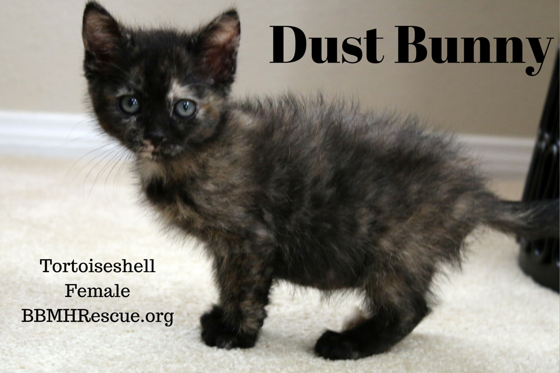 Dust Bunny Is A Kitten Being Fostered By Our Cat Rescue She Will Be Available For Adoption In December If You Are Interested In Kitten Rescue Cats Kittens