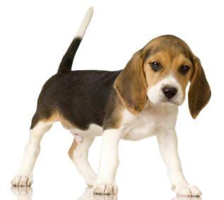 ผลการค้นหารูปภาพสำหรับ the dog beagle