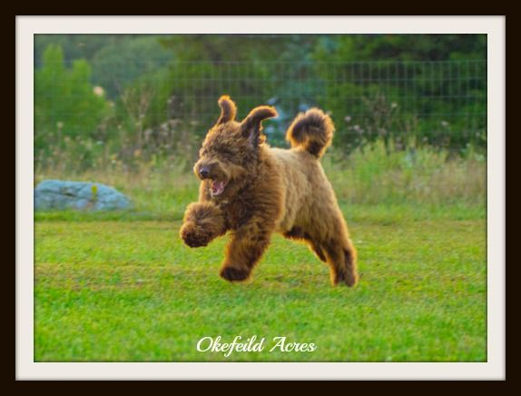Mini And Standard Goldendoodle Sires Of Goldendoodle Puppies For