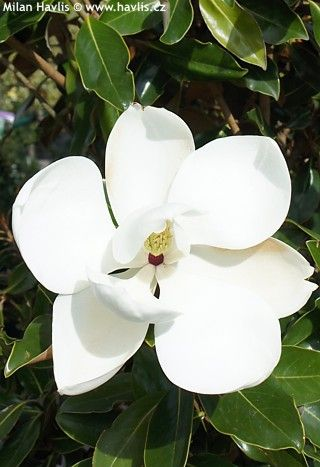 Magnolia Grandiflora Kay Parris Southern Magnolia Bull Bay Magnolia Storblomstret Magnolie Magnolia Grandiflora Southern Magnolia Magnolia