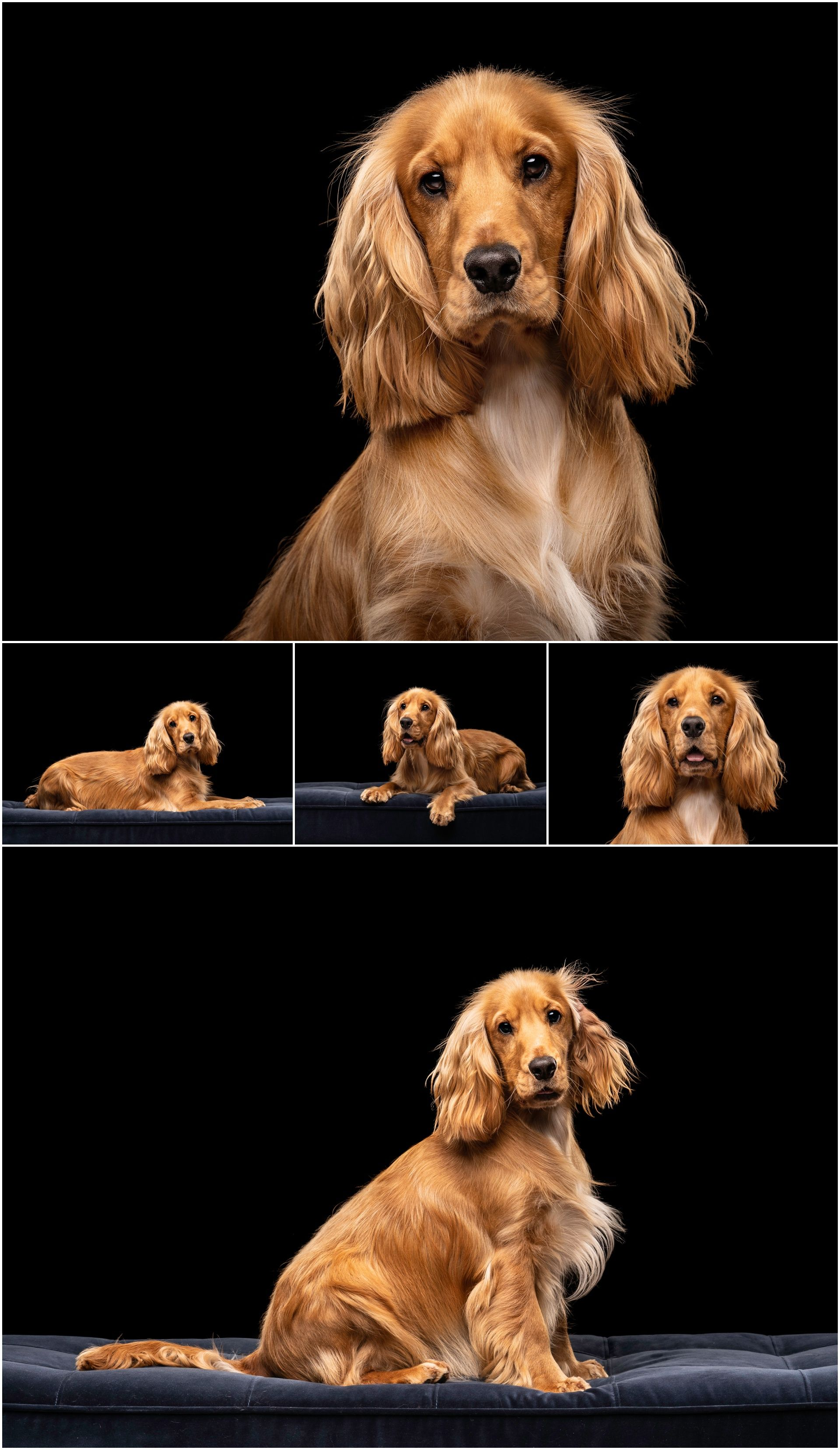 Brodie the Cocker Spaniel Scottish Dog Photography (With