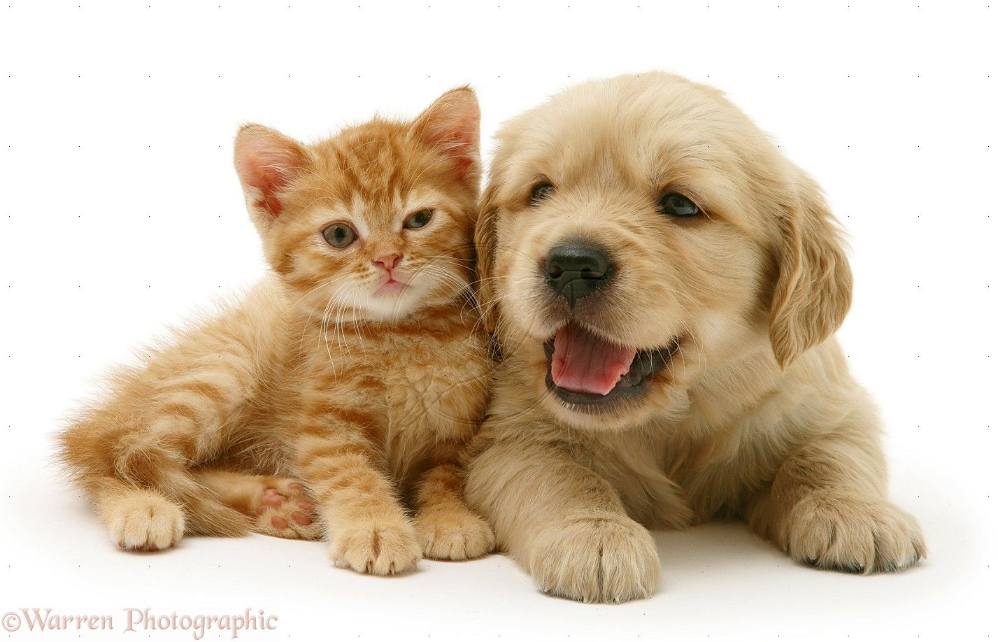 Kitten And Puppy Wallpaper Desktop Cute Puppies And Kittens