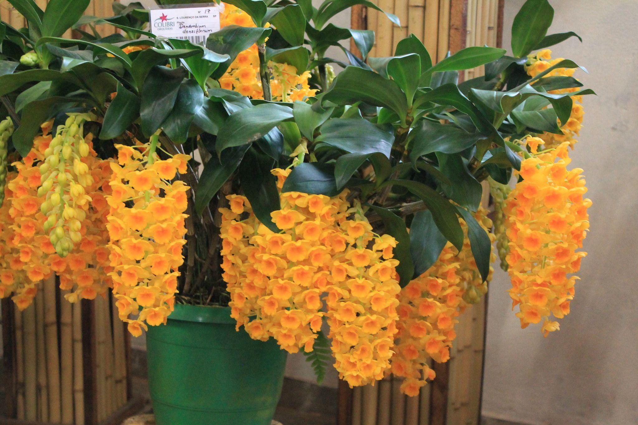 Dendrobium Densiflorum Unusual Flowers Dendrobium Orchids Beautiful Orchids