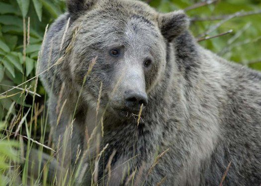 Grizzly Bear Survival - yet another reason not to shoot wolves. Yellowstone National Park