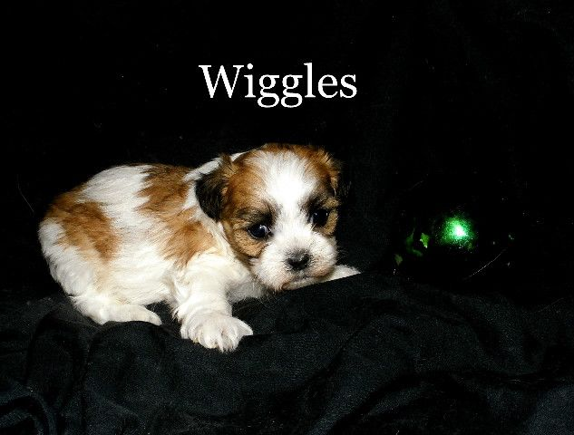 Teddy Bear Puppies For Sale In Wisconsin Find Teddy Bear Puppies For Sale In Wisconsin Minnesota And Illinois Teddy Bear Puppies Puppies Puppies For Sale