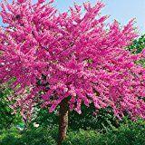 Judasbaum pflanzen und pflegen – So wird's gemacht #landschaftsbauideen