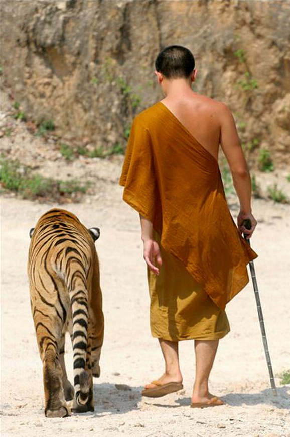 A tiger and a monk on a stroll.