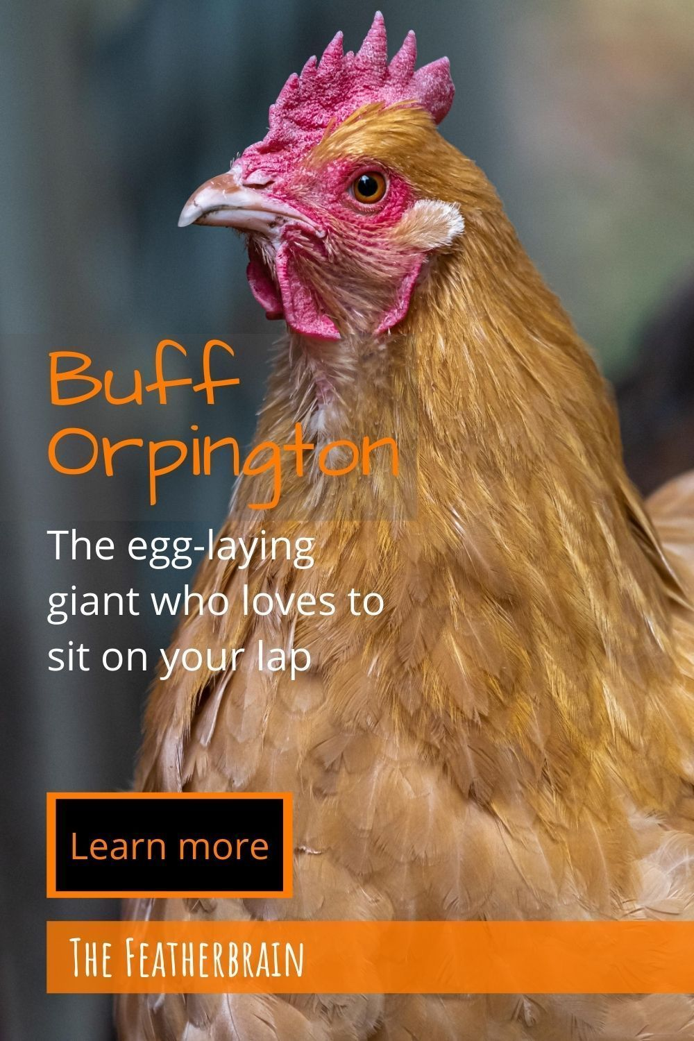 Buff Orpington: The egg-laying giant who loves to