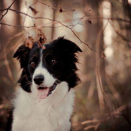 Bordercollie Bordercollie Collie Border Collie Dog Breeds List